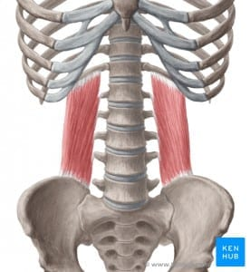 a drawing of the quadratus lumborum muscle