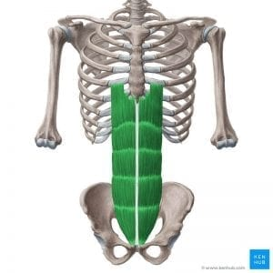 a drawing of the rectus abdominis muscle