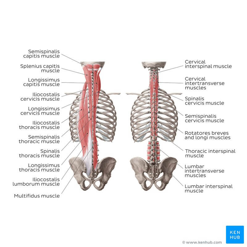 all the erector spinae muscles