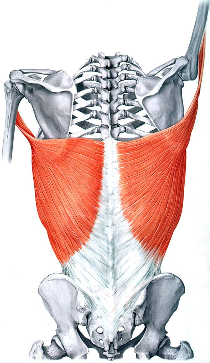 Latissimus Dorsi: Learn Your Muscles - Custom Pilates and Yoga