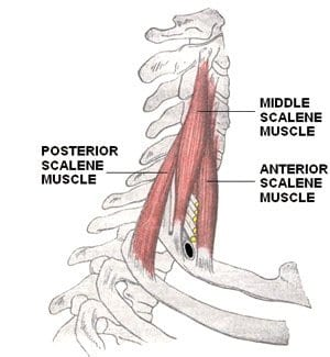 anterior, middle, and posterior scalenes