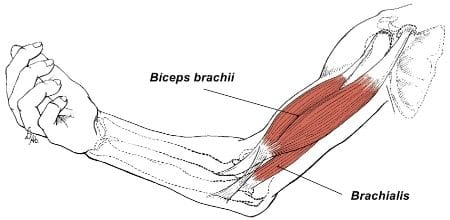 brachialis and biceps muscles
