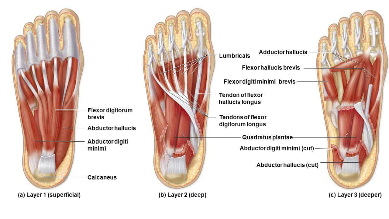 Abductor Digiti Minimi Muscles of the Hand and Foot: Learn Your ...