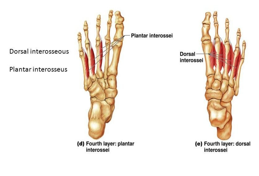 dorsal interossei and plantar interossei