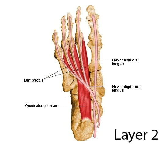lumbricals muscles in the foot