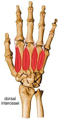 dorsal interossei muscles of the hand