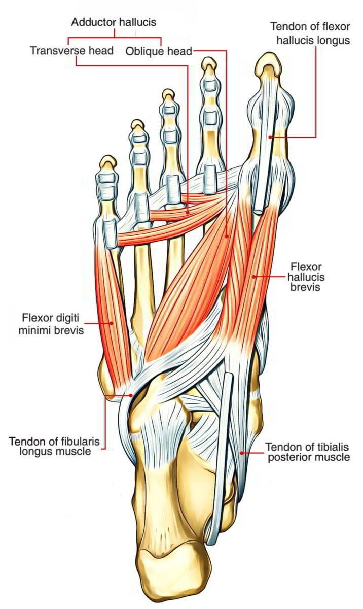flexor digiti minimi brevis foot