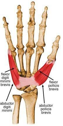 flexor digiti minimi brevis hand