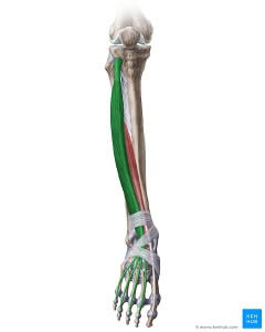 drawing of the extensor digitorum longus muscle