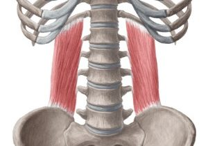 Kenhub image of the quadratus lumborum muscle
