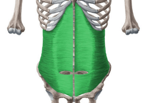 a drawing of the transverse abdominis muscle