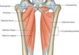 A drawing of all the muscles in the adductor group of muscles