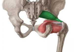 a drawing of the piriformis muscle